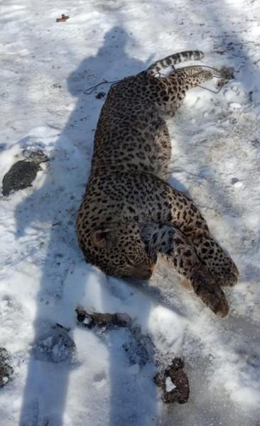 Леопард Килли. Найден в Абхазии
