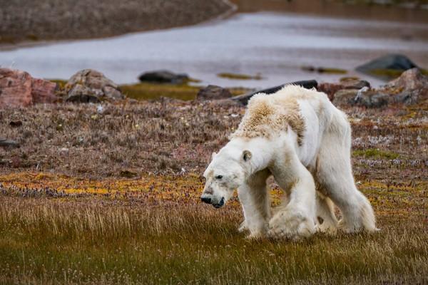 Оголодавший белый медведь пробирается через тундру на острове Сомерсет в канадской Арктике. Фото: Cristina Mittermeier—SeaLegacy